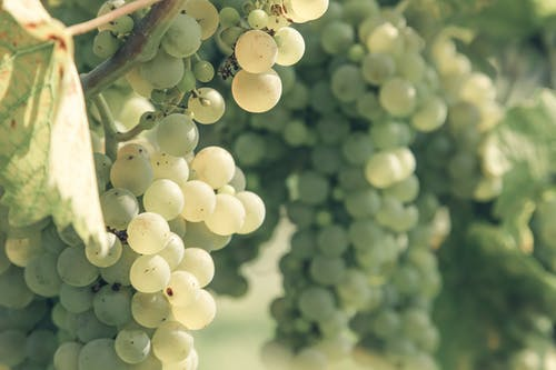 Tasty ripe grapes hanging on vine in sunlight