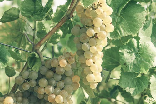Vineyard with growing white wine grapes