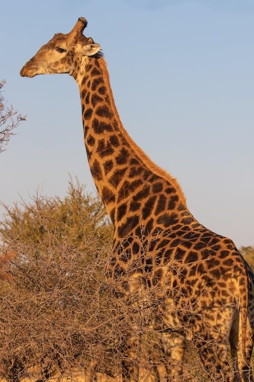 Giraffe beside Bare Trees