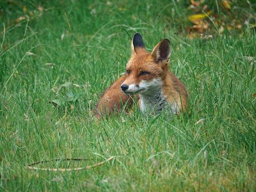 Free stock photo of animals, fox, garden, london