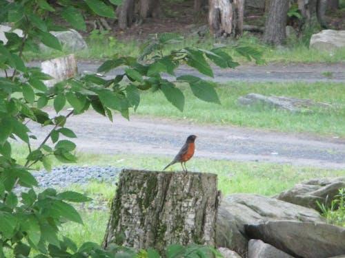 Free stock photo of Catskill Robin