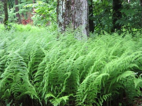 Free stock photo of Catskill Ferns