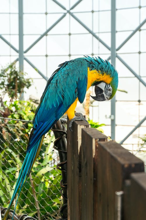 Blue and Yellow Macaw on Brown Wooden Fence