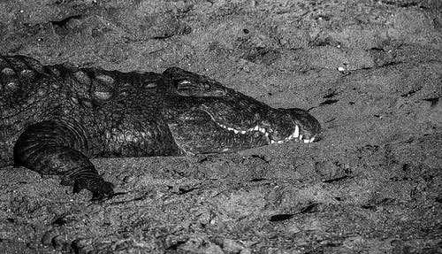 Kostnadsfri bild av Krokodil
