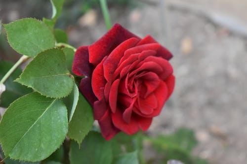 Gratis arkivbilde med blume, grün, råtne, rose