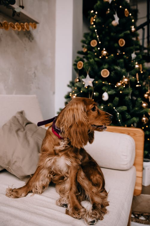 Cute Cocker Spaniel on sofa in decorated room for Christmas