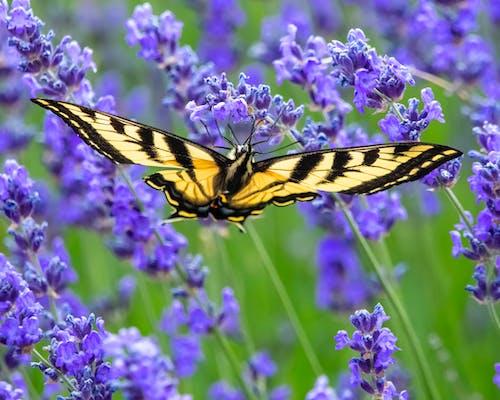 燕尾蝶, 盛開的薰衣草 的 免费素材图片