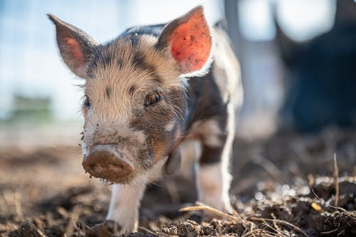 Piglet with dirty nose in countryside