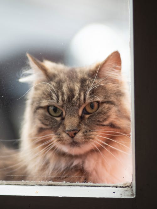 Close-Up Shot of a Domestic Long-Haired Cat