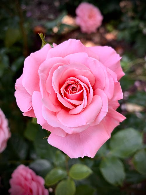 Close-Up Shot of a Pink Rose in Bloom