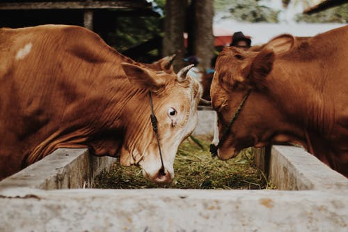 Close-Up Shot of Two Brown Cows
