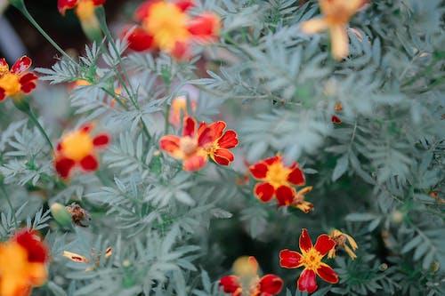 Marigold flowers growing in garden