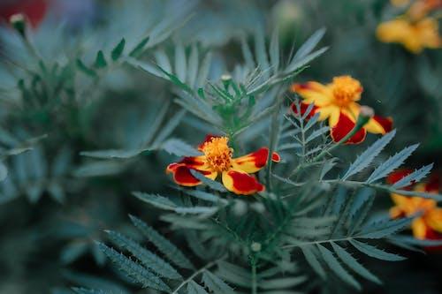 Bright Marigold flowers in summer garden