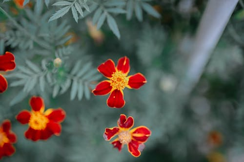 Closeup top view of gentle Marigold flowers with bright petals growing in nature in summer