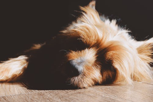 Free stock photo of adorable, animal, brown, canine