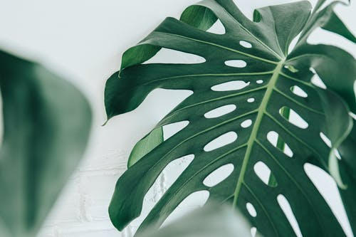Unusual dark green leaf of exotic plant with natural holes and bright thick veins in bright room in daylight