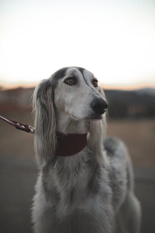 Saluki in collar on leash on street under sky