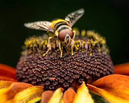 Hornet pollinating big yellow flower