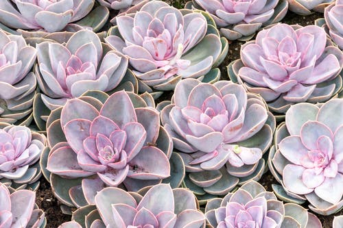 Collection of Graptopetalum paraguayense succulents growing in glasshouse