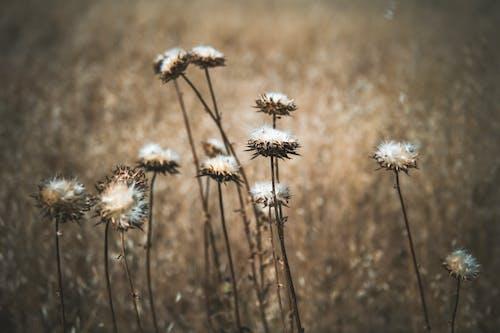 Immagine gratuita di campo, cardo, crescita, delicato