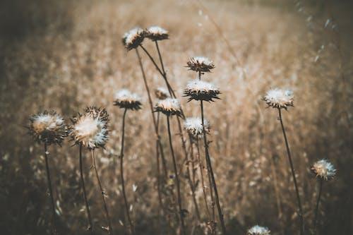 Immagine gratuita di alba, campo, campo di fieno, cardo