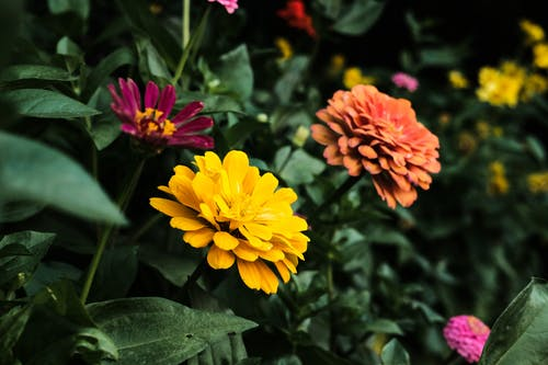 Close-Up Shot of Zinnia Flowers in Bloom