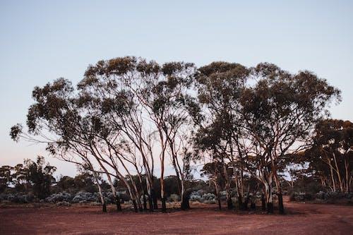 Curvy wandoo trees growing in savanna at sundown