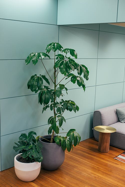 Green exotic Australia umbrella tree and delicious monster plant growing in ceramic pots placed on parquet floor near sofa in stylish living room