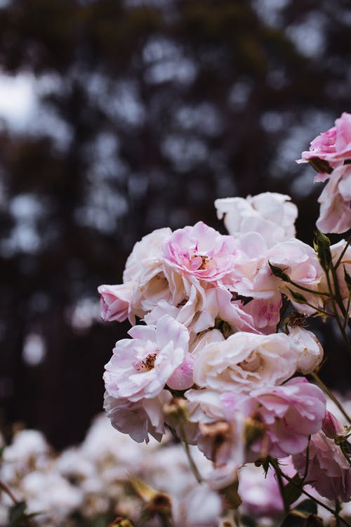 Bunch of tender bright aromatic blooming pink flowers growing in garden against blurred background