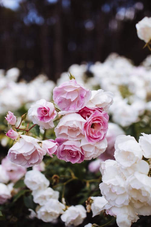 Bunch of blooming pink and white flowers