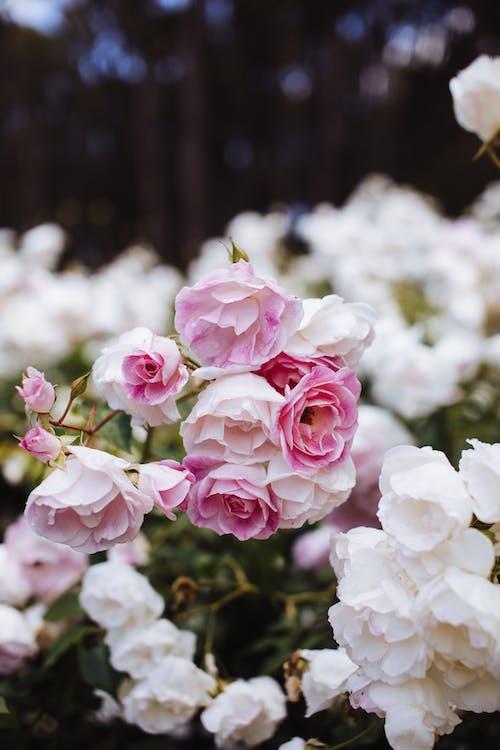 Gratis lagerfoto af aroma, blomst, blomstermotiv