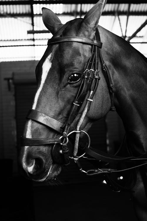 Black and white of horse muzzle with halter and leading reins in stable prepared for riding