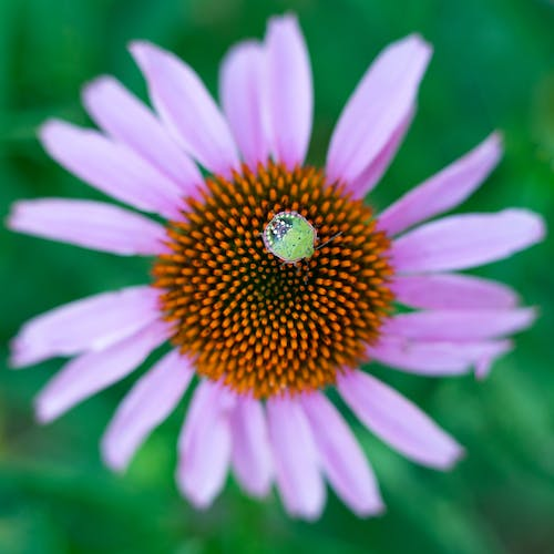 Free stock photo of bug, close up, flower
