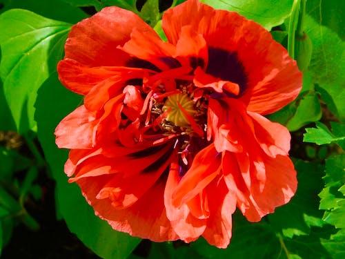 葉物野菜, 赤い花の無料の写真素材