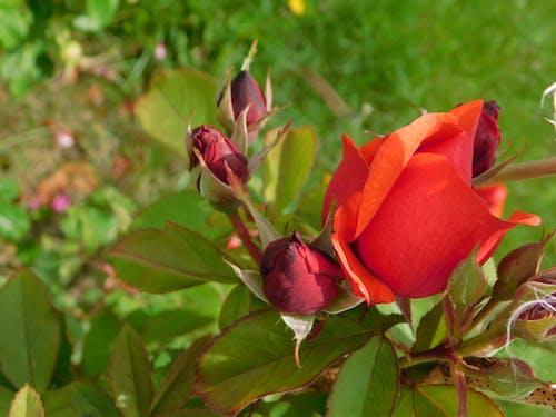 赤いバラの無料の写真素材