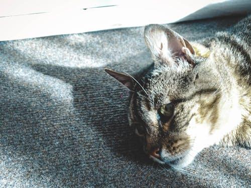 Ingyenes stockfotó gato, gato gris, gato mascota témában