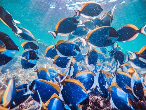 Blue and Yellow Fishes in Water