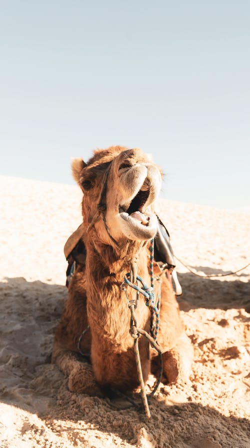 Furry camel with mouth opened in desert