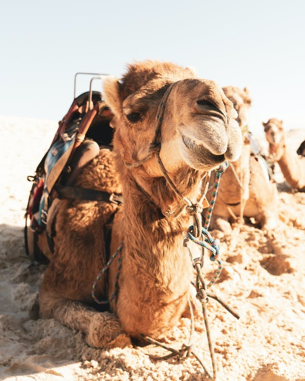 Exotic camel with saddle stretching on warm sandy dunes under bright cloudless sky
