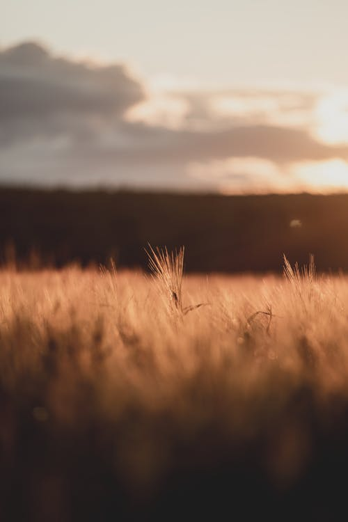 Selective focus of thin grass growing in vast rural meadow at sunny sunset