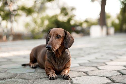 Brown Dachshund on Gray Concrete Floor