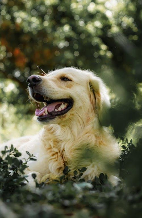 Golden Retriever Puppy With Green Eyes