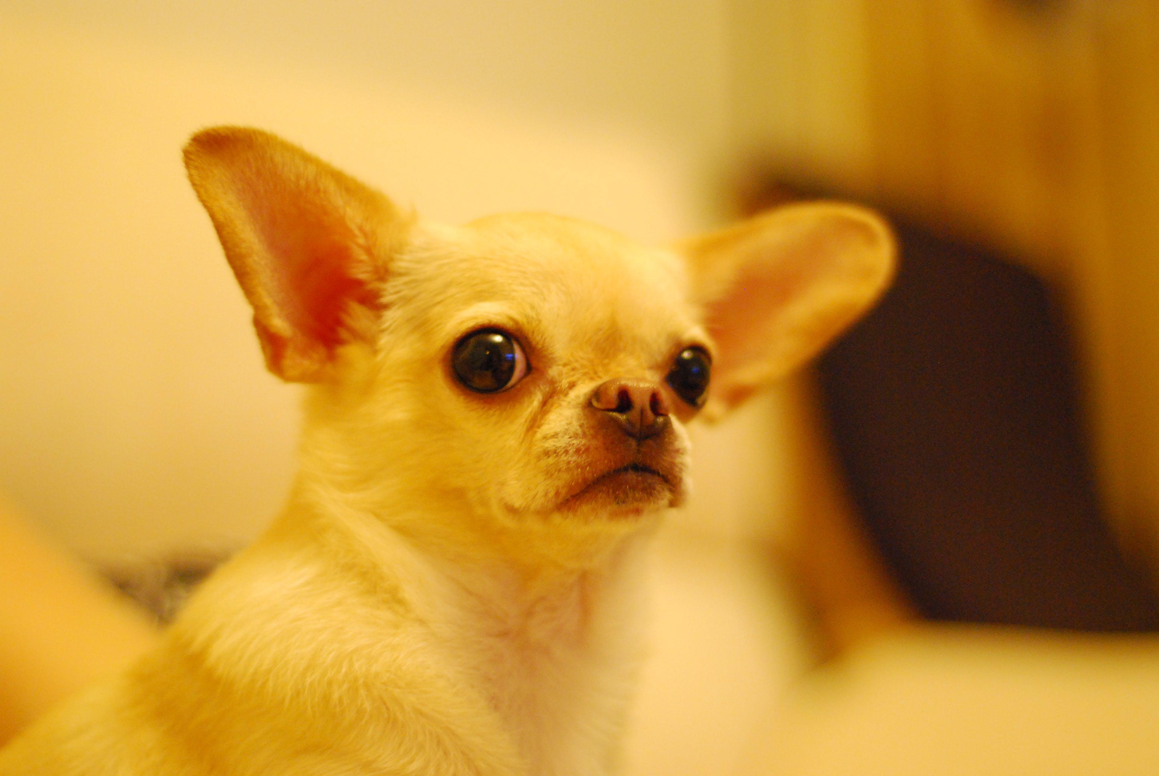 Free stock photo of dog, chihuahua