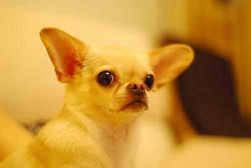 Free stock photo of chihuahua, dog