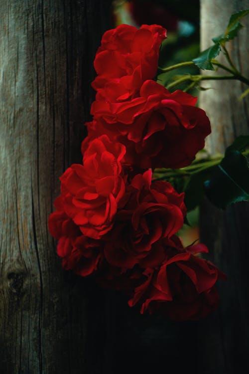 Free stock photo of flowers, garden roses