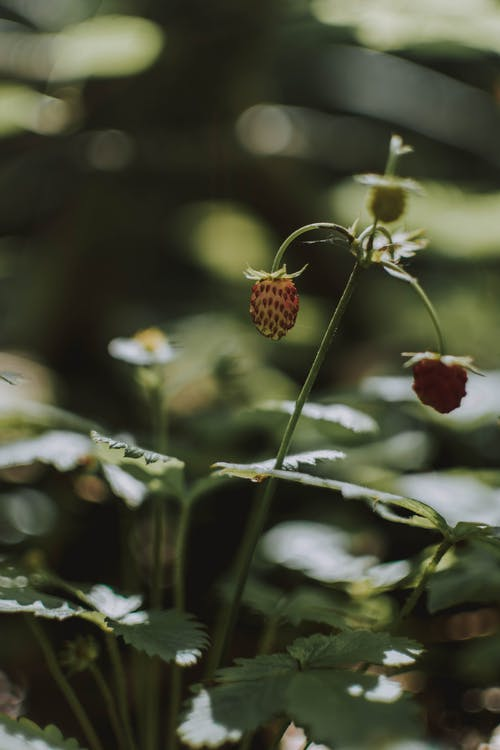 Unripe strawberries on thin twig with leaves