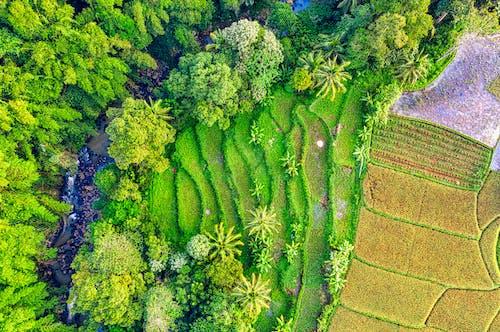 Aerial Shot of Rice Field Plantation