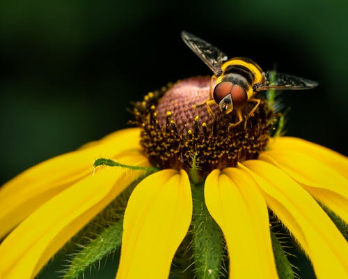 Hoverfly on blossom in summer