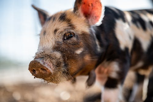 Closeup of little pig with messy snout and spotted fur looking away in countryside in back lit