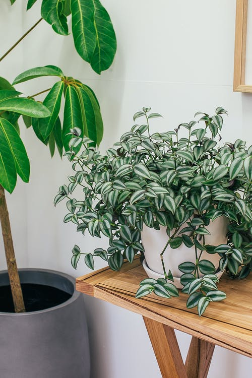 Fresh exotic potted inch plant placed on wooden table near big Australia umbrella tree decorating light room